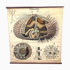 Antique School Sea Urchin Poster by Prof. Dr. Paul Pfurtscheller for A Pilcher's Witwe & Son.