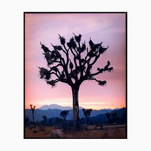 Joshua Tree, Mojave Desert, California (m)- American Landscape Color Photography 2002