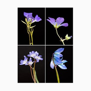 Lobelia Iv - Botanical Color Photography Prints 2019