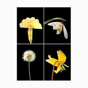 Primula Iv - Botanische Farbfotografie Drucke 2019