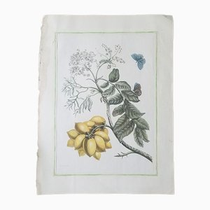 Litografia D. Stoopendaal, farfalla e limone
