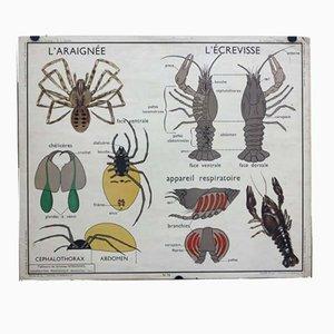 Affiche d'Ecole Vintage Le Hanneton / L'Araignée, 1950s