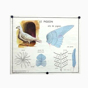 Póster escolar La Poule / Le Pigeon, años 50