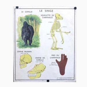 Póster de escuela con anatomía de un gorila y un gato, años 50