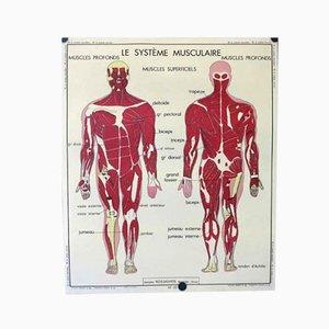 Póster vintage de doble cara sobre la anatomía humana, años 50