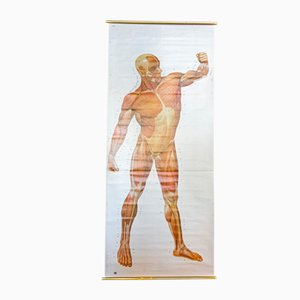 Vintage Anatomical School Musculature Poster