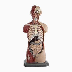 Anatomischer Herren Torso aus Somso Plast