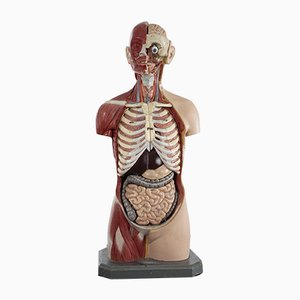 Torso anatómico masculino en Somso Plast