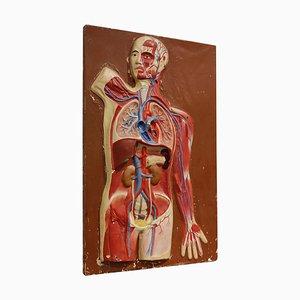 Modello anatomico vintage, anni '50