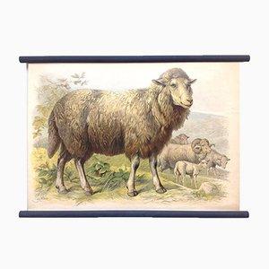 Affiche Scolaire d'un Mouton, Lithographie, Début 20ème Siècle