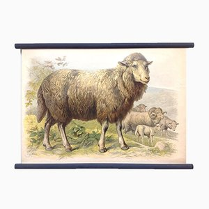 Schulposter eines Schafs, Lithographie, Frühes 20. Jahrhundert