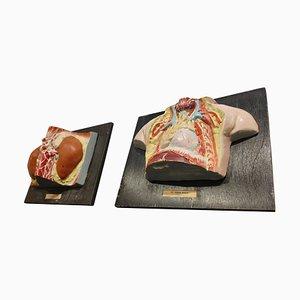 Anatomical Models, 1950s, Set of 2