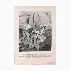 School Swallowtail Poster, 1945