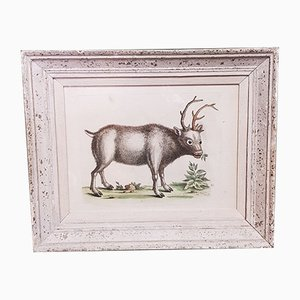 Greenland Buck by George Edwards, Hand Colored Antique Bird Print, Circa 1743