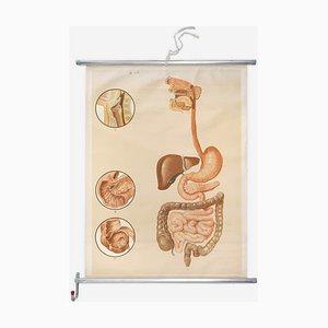 Anatomische Lehrtafel über Verdauungsorgane