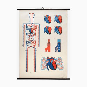 Anatomical Wall Chart Circulatory System