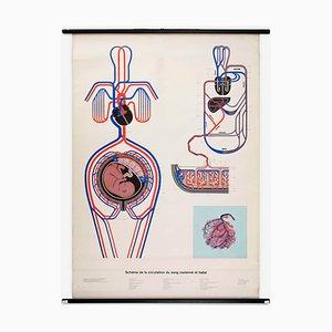 Póster anatómico del sistema circulatorio de la madre y el feto