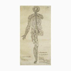 Andrea Vesalio, The Circulatory System, From De Humani Corporis Fabrica, 1642