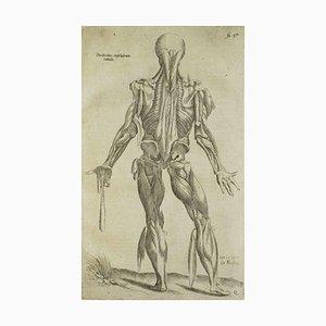 Andrea Vesalio - Human Back Muscles - De Humani Corporis Fabrica - 1642