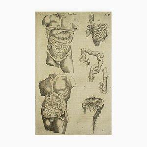 Andrea Vesalio - The Digestive System - De Humani Corporis Fabrica - 1642