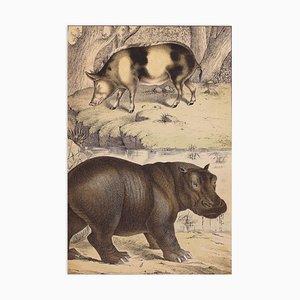 Desconocido - Cerdo salvaje y hipopótamo - Litografía - Finales del siglo XIX
