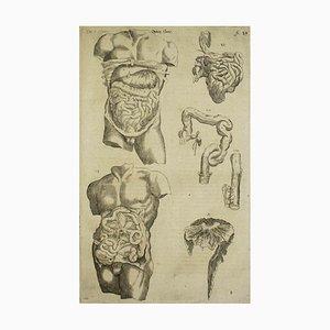 Andrea Vesalio, The Digestive System / De Humani Corporis Fabrica, 1642