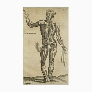 A. Vesalius, The Posterior Muscle, The Human Body Fabric, 1642