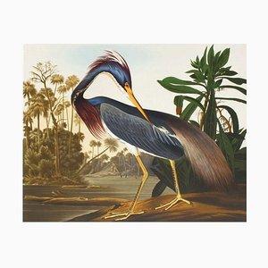 Louisiana Reiher von John James Audubon