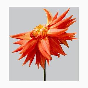 Dahlia #14, Contemporary Photography, Flowers,