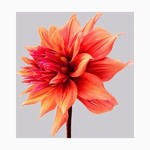Dahlia # 2, Blumen, Fotografie