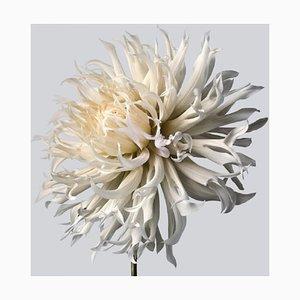Dahlia # 5, Blumen, Contemporary Photography
