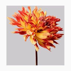 Dahlia #6, Flowers, Contemporary Photography