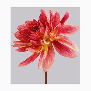 Dahlia #7, Pink Flowers, Contemporary Photography