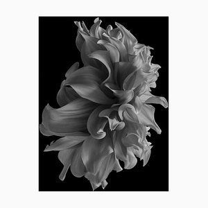 Black Dahlia #19, Black and White, Photography