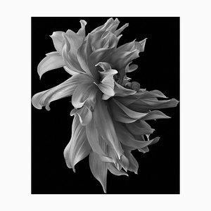 Black Dahlia # 1, Schwarz und Weiß, Fotografie