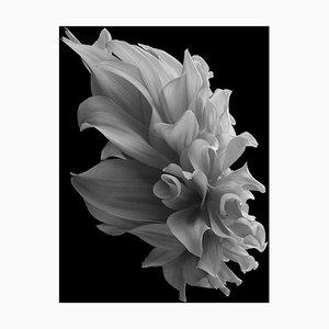 Black Dahlia # 2, Schwarz und Weiß, Fotografie