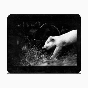Untitled, Pig, Photography, 2008