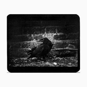 Untitled, Crow, Giacomo Brunelli, 2005-2009