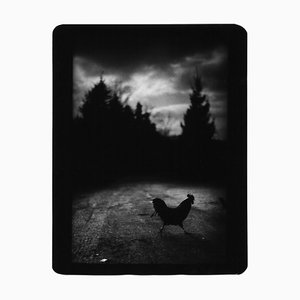 Black Cockerel, Photo, Giacomo Brunelli, 2005