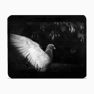 Pigeon II, Photography, Giacomo Brunelli, 2005-2009