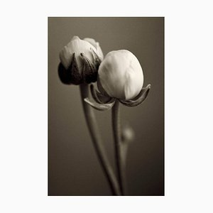 Ranunculi, Fotografie, Blumen, 2003