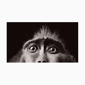 Monkey Eyes, Britische Kunst, Tierfotografie