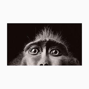 Monkey Eyes, British Art, Animal Photograph
