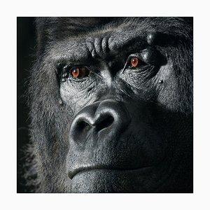 Djala, Britische Kunst, Tierfoto, Gorilla