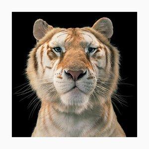 Golden Tabby Tiger, Britische Kunst, Tier Fotografie, Katzen