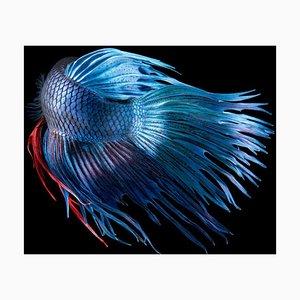 Kampffische, Britische Kunst, Tierfotografie, Unterwasser