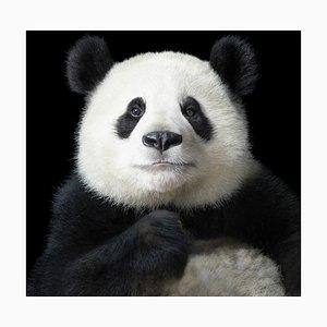 Ya Yun Elegant, British Art, Animal Photograph, Pandas