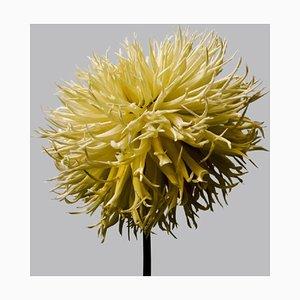 Dahlia # 15, Blumen, Dahlien