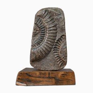 Fossiles ornamentales historisches Ammonit Geologie Ornament mit Eichenholz Fuß