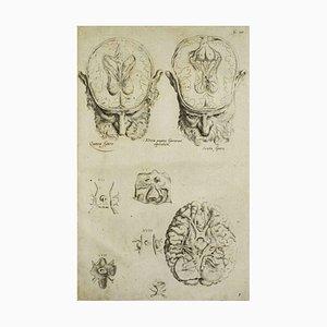 Andrea Vesalio, The Brain, From De Humani Corporis Fabrica, 1642